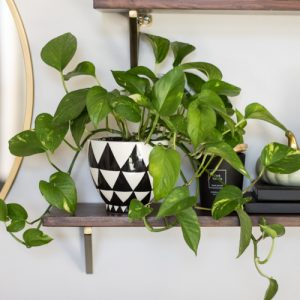 A common houseplant, the pothos, on a shelf.