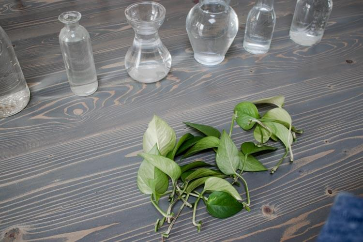 Pothos clippings for water propagation